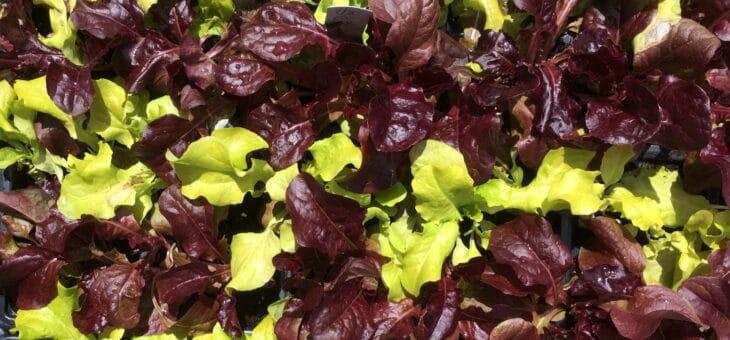 Lettuce seedlings for sale
